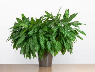 Large Aglaonema Maria, Chinese evergreen houseplant